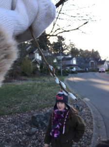 Found pussy willows budding on Jan 1, 2015