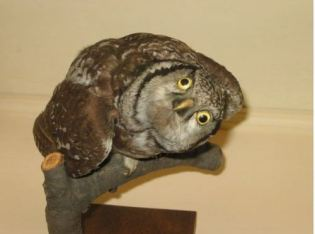 Peek-a-boo derpy-wurpy owl