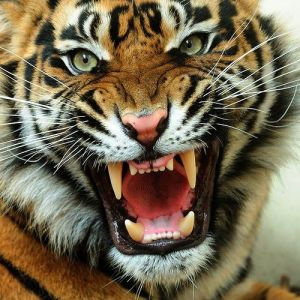 39da08be9996b32e4e4b0cc45675606b-tiger-face-the-tiger